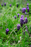 Blue spring flowers. And green grass royalty free stock photography