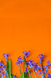 Blue spring flowers with green leaves on an orange background.  Royalty Free Stock Image