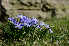 Blue spring flowers group Stock Photo