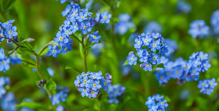 Blue spring flowers Stock Image