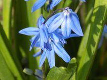 Blue spring flowers Scilla stock photography