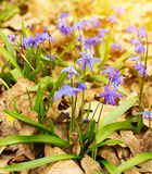 Blue spring flowers of Scilla siberica Royalty Free Stock Photos