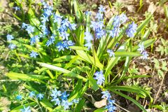 Blue spring flowers Scylla. In the garden stock photos