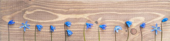 Blue spring flowers Scylla on the stem on wooden background. Blue Scylla spring flowers on stem on brown wooden background close up, panoramic format, copy space stock photography