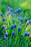 Blue spring flowers, shallow focus Stock Photo