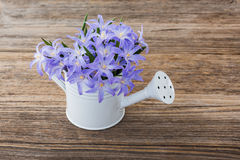 Blue spring flowers in small watering can on wooden background Stock Images
