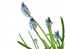 Blue spring flowers on white Royalty Free Stock Photography