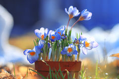 Blue spring flowers. Wild  tender spring blue flowers Royalty Free Stock Photos