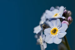 Blue spring forest flower. Blue flowers (Myosotis Alpestris), known as Forget Me Not on blue backround Stock Photo