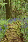 Blue spring forest Stock Images