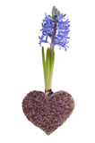 Blue spring hyacinth and lavender heart Stock Image