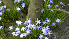 Blue spring primroses bloom. Near the trunk of a tree on a sunny day stock video footage