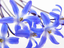 Blue spring scilla Royalty Free Stock Photo