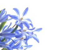 Blue spring scilla Royalty Free Stock Photos