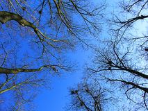 Blue spring sky. Among bare branches on trees, philosophical image of height and awakening of earth Royalty Free Stock Photos