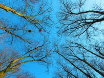 Blue spring sky among bare branches of the trees. Philosophical image of height and awakening of earth, yellow beams of the sun warming up the picture Royalty Free Stock Photo