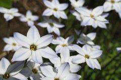 Blue spring star flower field #2 Stock Image