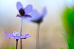 Blue spring wild flower Stock Photos