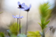 Blue spring wild flower Royalty Free Stock Photos