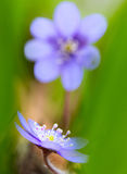 Blue spring wildflower liverleaf or liverwort Hepatica nobilis Stock Photography