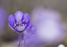Blue spring wildflower liverleaf or liverwort, Hepatica nobilis Stock Photography