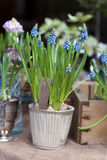 Blue Springs flowers (Muscari) in a pot Royalty Free Stock Image
