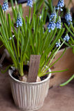Blue Springs flowers (Muscari) in a pot Royalty Free Stock Photos