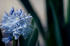 Blue. Springtime flowers blooming; little blue flower Stock Photography