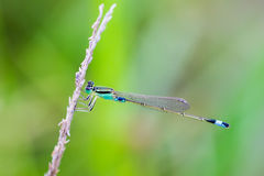 Blue Sprite - Portrait of damselfly Royalty Free Stock Photography