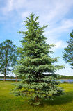 Blue spruce Stock Photography