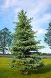 Blue spruce Stock Photography