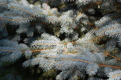 Blue spruce 2 Royalty Free Stock Photography