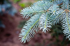 Free Blue Spruce Stock Images - 25860134