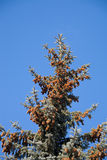 Blue spruce. On a background of the sky Royalty Free Stock Images