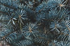Blue spruce background. Blue srpuce texture. The beauty of nature Royalty Free Stock Photos