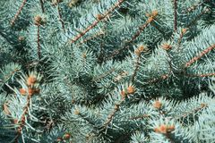 Blue spruce background. Closeup of blue spruce branch background Royalty Free Stock Photo