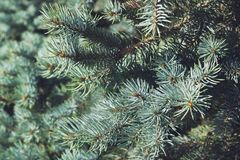 Blue spruce background. In sunny day Royalty Free Stock Photos