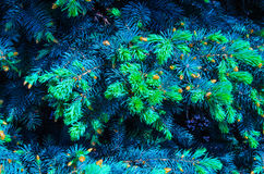 Blue spruce Royalty Free Stock Photos