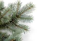 Blue Spruce Bough. Isolated on a white background stock images