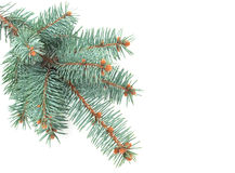 Blue spruce branch Stock Photos