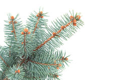 Blue spruce branch Royalty Free Stock Photo