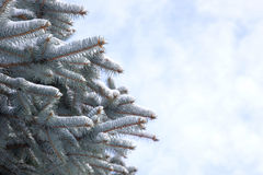 Blue spruce branch. Against the cloudy sky Stock Photography
