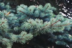 Blue spruce branch background. Selective focus Royalty Free Stock Images