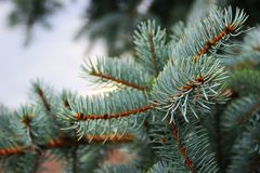 Blue spruce branch in a cloudy day stock image