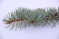 Blue spruce. Branch with cone on white background Stock Photo