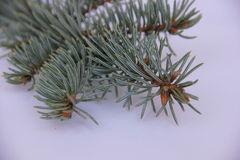 Blue spruce. Branch with cone on white background Stock Images