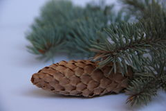 Blue spruce. Branch with cone on white background Royalty Free Stock Photo