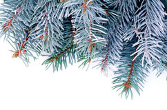 Blue Spruce Branch Stock Photography