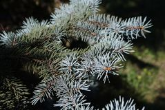 Blue spruce branch with needles stock image