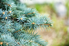 Blue spruce branch. Royalty Free Stock Photos